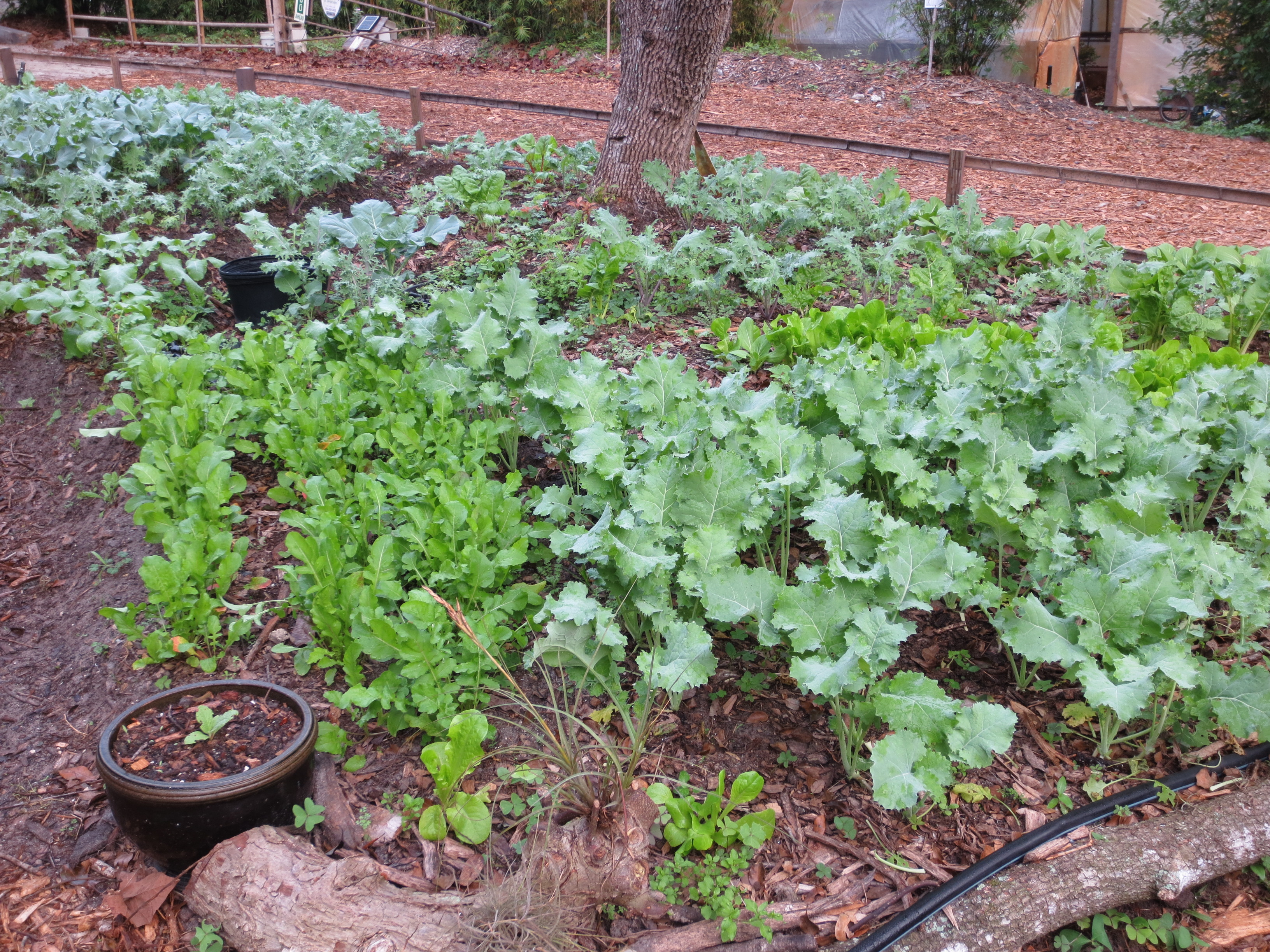 The garden: arugula, kale and lettuce, and broccoli beyond.