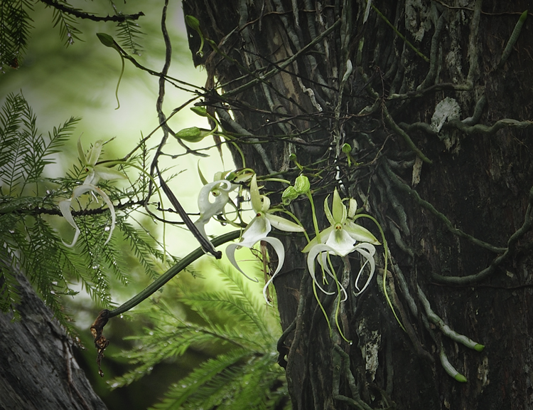 "PHOTO 5: Rare Ghost Orchid ""Super Ghost"" Blooms at Corkscrew Swamp Sanctuary. Reproduced from Audubon Florida, Courtesy of Rod Wiley. 2010."