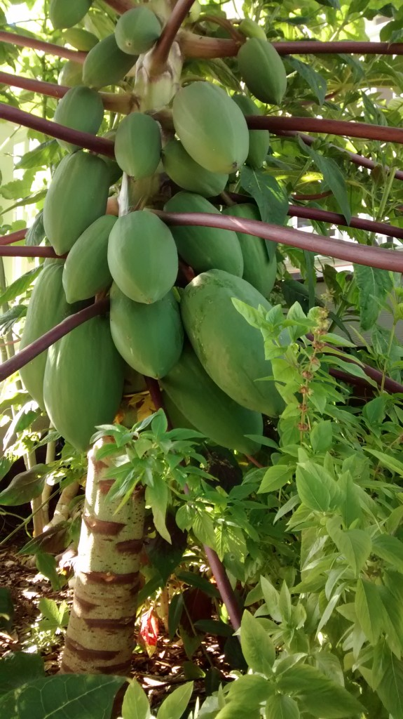 Papaya planted less than six months ago loaded with huge fruits!