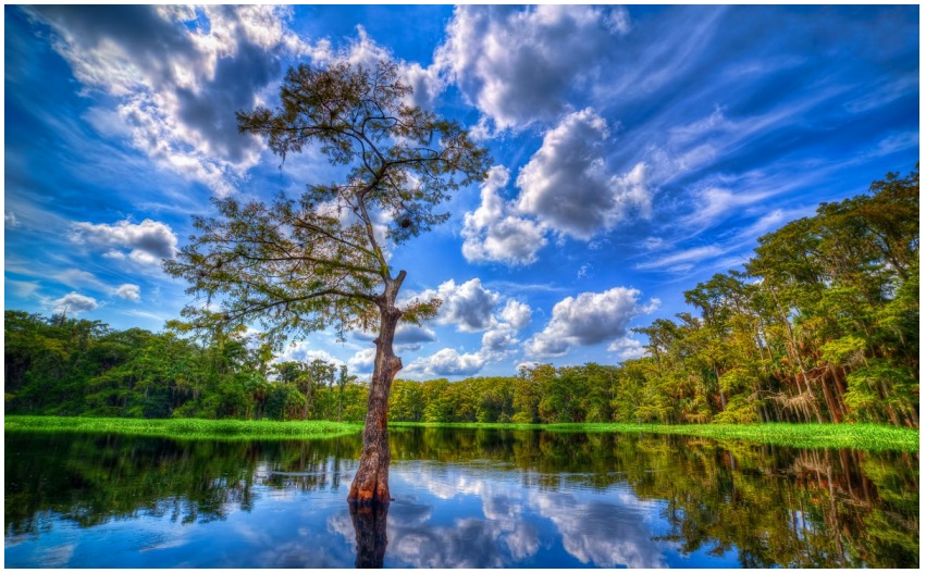 PHOTO 1: Cypress Tree at Fish Eating Creek Palmdale, Florida. Reproduced from Kim Seng. 2012.